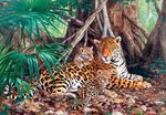 Jaguars in the Jungle - Puzzel (3000)