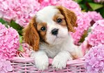 Pup in Pink Flowers - Puzzel (500)