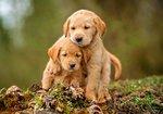 Puppy Love - Puzzel (500)