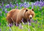 Baer on the Meadow - Puzzel (500)