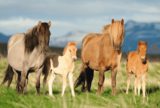 Paardenfamilie - Puzzel (200)