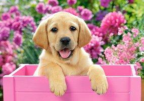 Labrador Puppy in Pink Box - Puzzel (500)