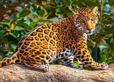 Kleine Jaguar (260)