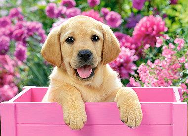 Labrador Puppy (300)