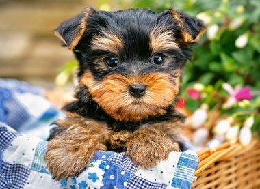 Picknick Puppy - Puzzel (300)