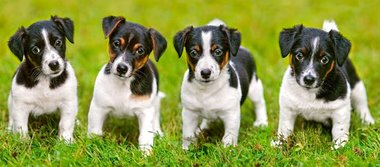 Jack Russell Terrier Puppies - Puzzel (600)